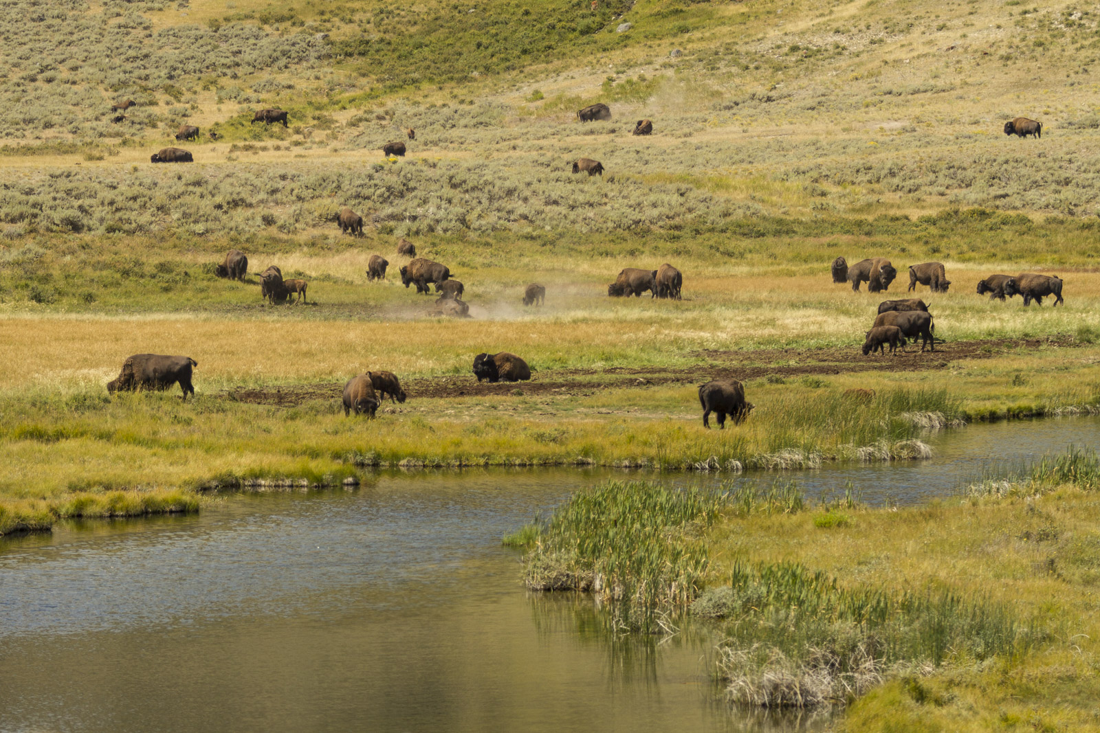 Bisons grazing in Yellowstone, US